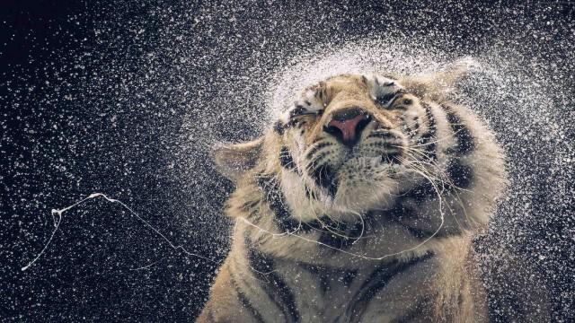 3840x2160 4k Wallpaper Is 4K Wallpaper For Desktop, Tiger, Animal